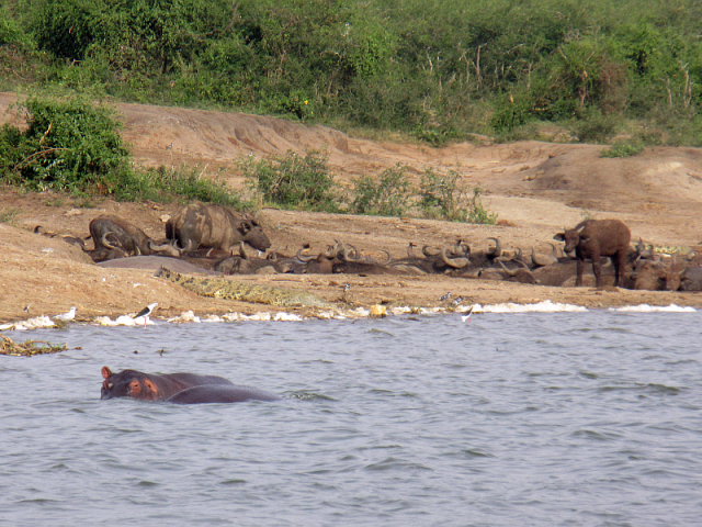 Two hippos on the front, and a flock of water buffalo to the rear.