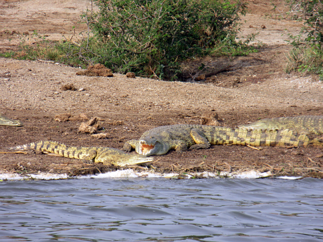 African crocodiles sunbathing, viewed from a boat trip along the Kazinga Channel in Queen Elizabeth NP