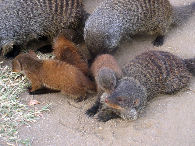 Banded mongooses, with babies, just behind one of the cabins in QE NP