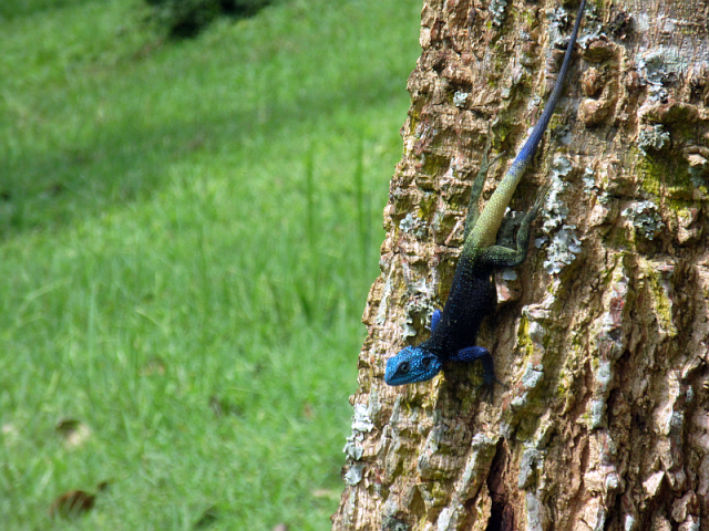 Blue-headed Tree Agama (Uganda) . Such a RICH blue!