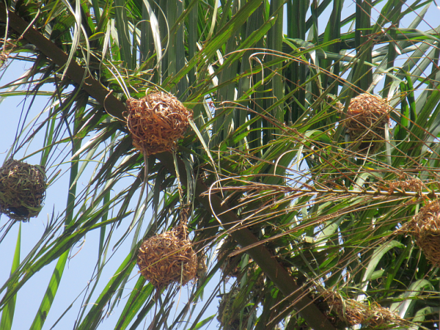 Male weaver birds build multiple nests like these. If the female likes the construction, she lays eggs, if she doesn't she rips it apart and drops it on the ground.  Luck the bird who is a skilled weaver.