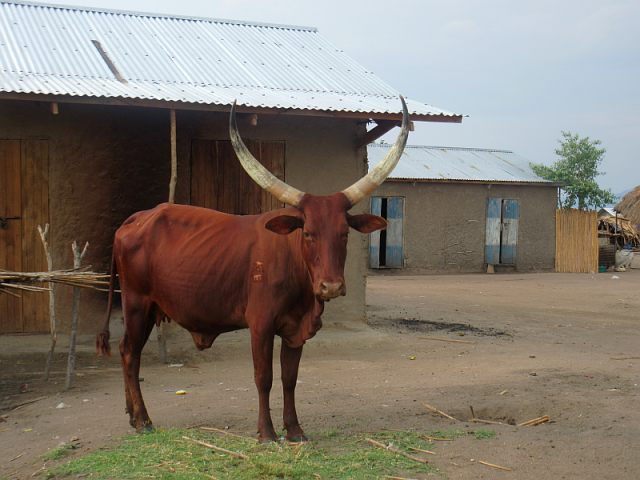 These cattle, with their enormous horns are everywhere.  Fortunately they seem to be pretty good natured.