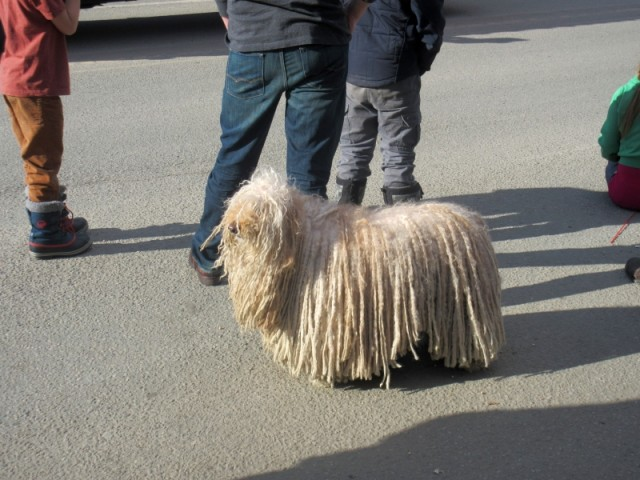 At the winter fair we saw this crazy dog! Looks just like a mop!