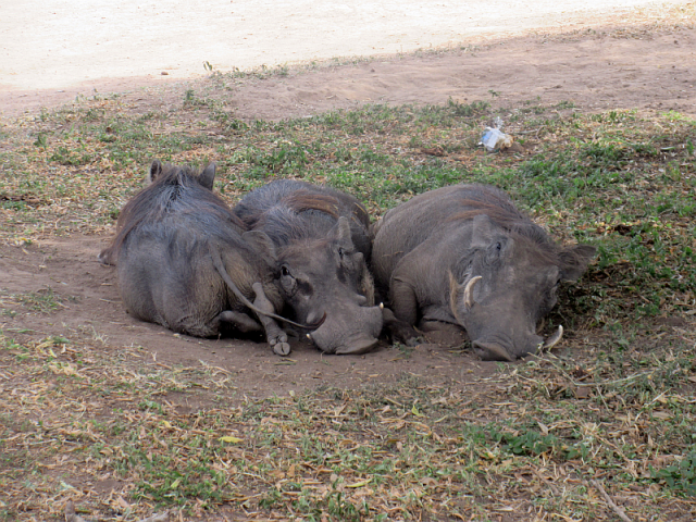 Warthogs. Many of them, all equally funny looking.