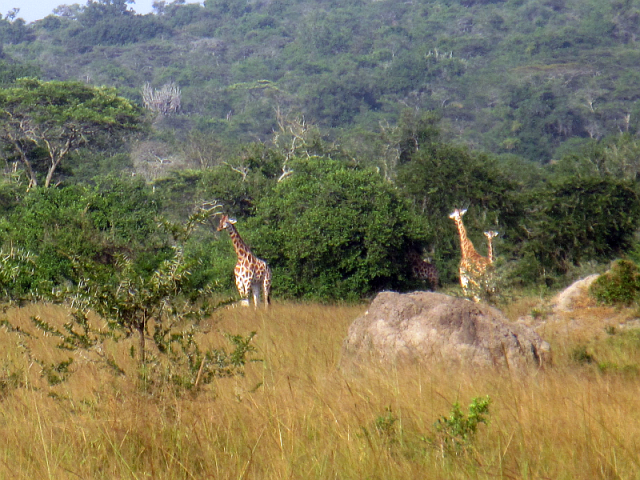 Giraffes seen in Lake Mburo NP