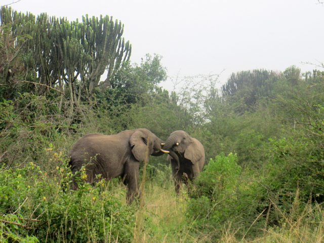 Elephants up close and personal in Lake Mburo park