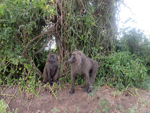 Many, many baboons