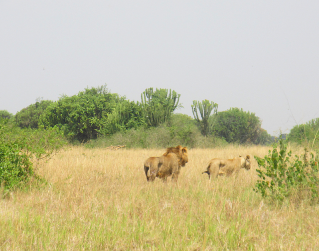 There were two pairs on lions very close together, but they then separated and found their own shelters