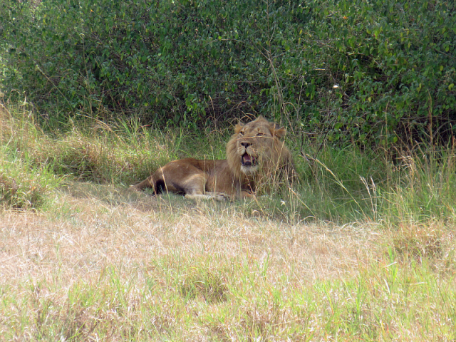This grand lion was about 10m from us. The lioness was well hidden in the bush