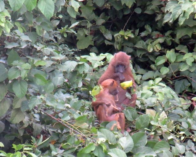 baboons-640